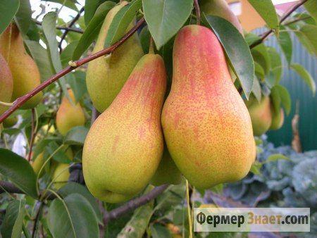 Плоди груші