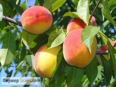 Як правильно обрізати персик
