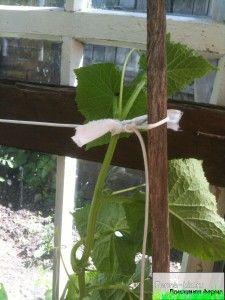 Як правильно підв`язувати огірки?