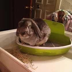 Як правильно привчити кролика до лотка: поради і покрокова інструкція