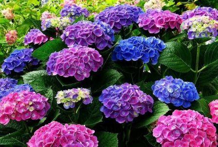Як правильно садити і доглядати за гортензією садової