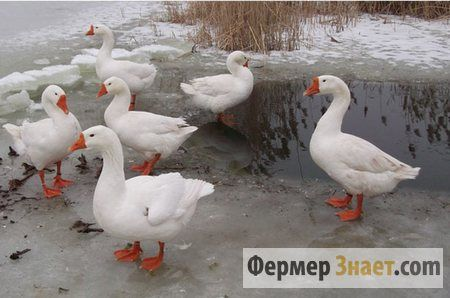 Особливості вирощування гусей породи линда
