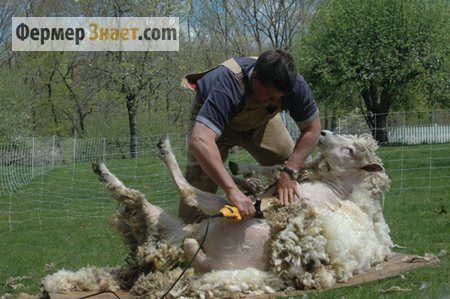Як правильно стригти овець