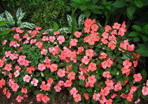 садовий бальзамін