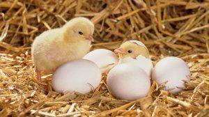 вирощування курчат