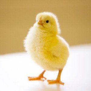 Для інкубації вибирають лише хороші яйця
