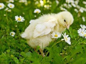 Маленькі курчата потребують осінь ретельного догляду