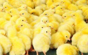 Харчування птахів повинно включати багато вітамінів