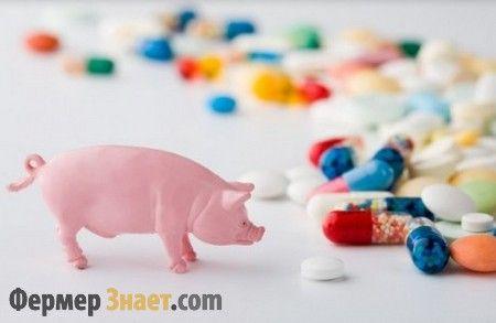 Профілактика основних хвороб у свиней