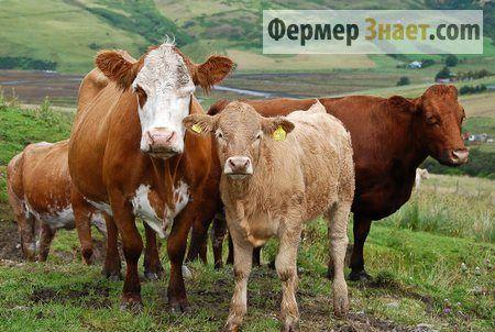 Хвороби великої рогатої худоби