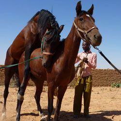 Як відбувається спарювання у домашніх і диких коней