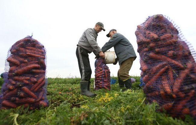 На фото прибирання моркви, minsk-region.gov.by