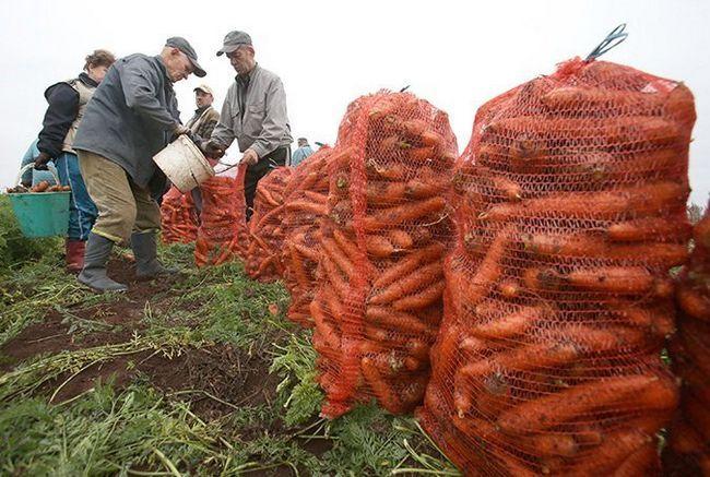 Фото збору врожаю моркви восени, kosht.info