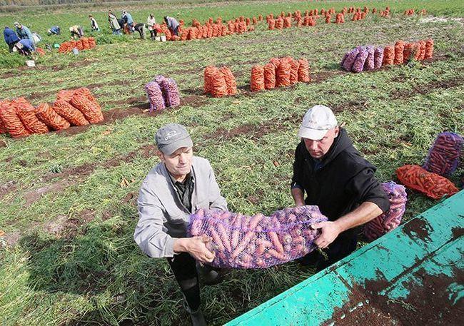 На зображенні збір врожаю моркви, kosht.info