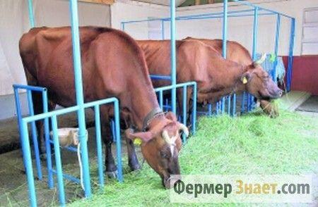 Корови на прив`язному утриманні