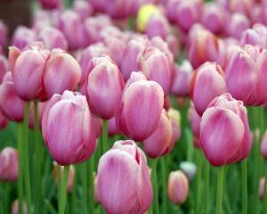 Як садити і доглядати за тюльпанами