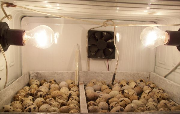 Інкубація перепелиних яєць в холодильнику