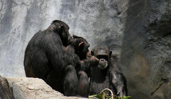 Бесіда в тісному колі шимпанзе звичайних