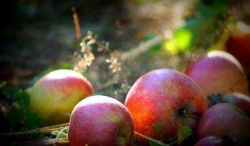 Урожай яблук, katesonders.com