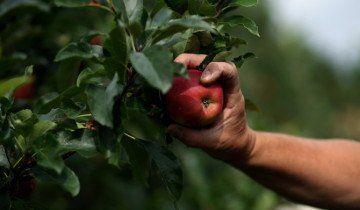 Збирайте яблука руками, 1jomle.com