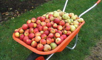 Урожай яблук, news.bbc.co.uk