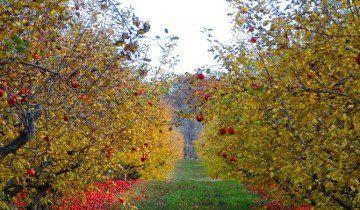 Дозрілі яблука, paharidotme.wordpress.com