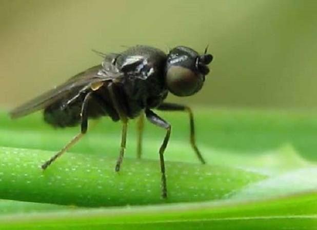 Шведська муха