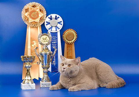 Як стати котом - чемпіоном світу, інструкція по виставках