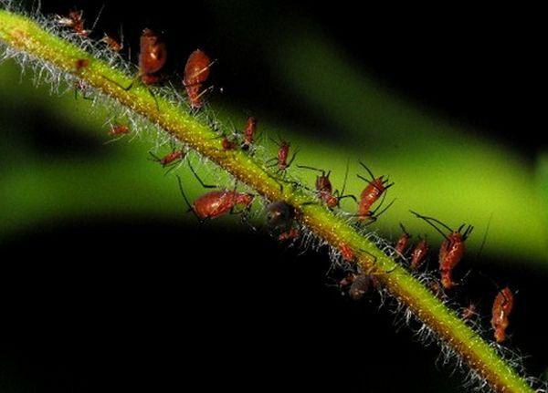Попелиці допомогли дізнатися, як рослини реагують на гусениць