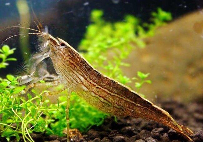 Freshwater Shrimps.