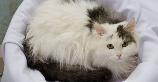 Як доглядати за пухнастими кішками