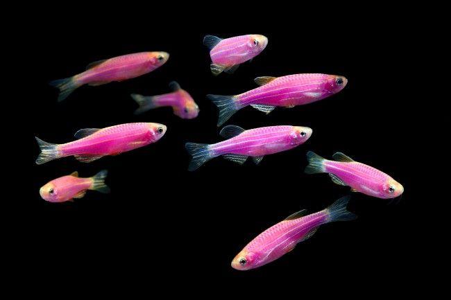 Зграйка рожевих даніо в акваріумі.