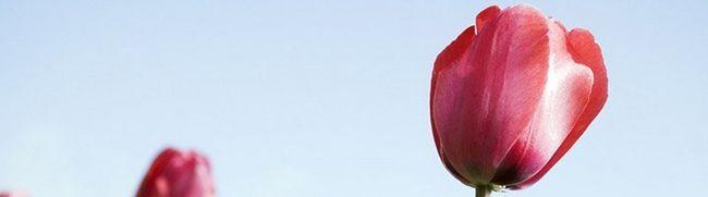Як доглядати за тюльпанами для активного зростання і пишного цвітіння