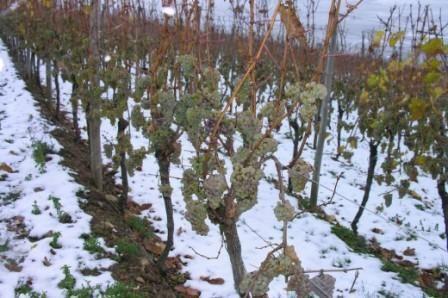 Виноград взимку