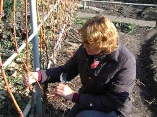 kak obrezat` vinograd na zimu