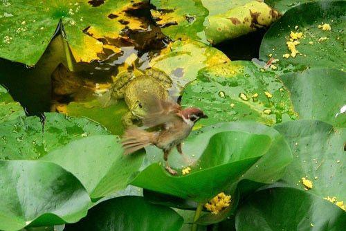 Як горобець став жертвою жаби-бика (Bullfrog)