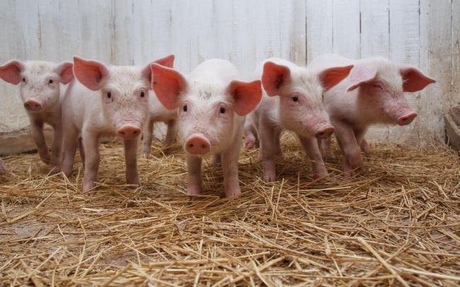 norma kombikorma dlja svinej