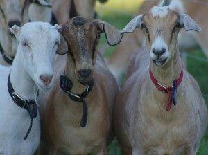 Як вибрати козу?