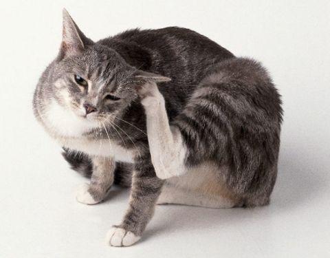Як вилікувати вушних кліщів (отодектоз)   у вашої кішки