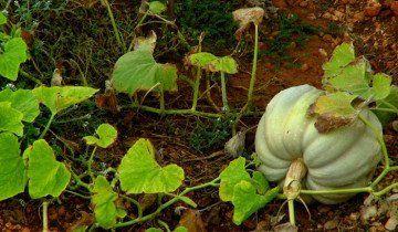 На фото вирощування гарбуза, tecurate.ru