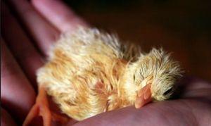 Як вирощувати курчат після інкубатора