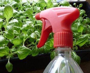 поливаємо розсаду