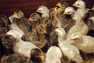 Раціон птахів обов`язково повинен містити вітаміни