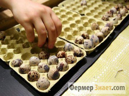 Укладання яєць