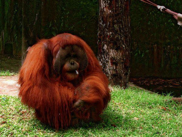 Спостерігаючи за дорослими, молоді орангутанги уявляють, як можна використовувати знаряддя праці.