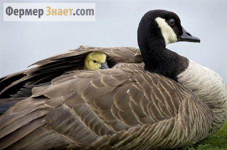 Яка температура оптимальна для утримання молодняку   гусей?