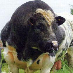 Які бики самі більше в світі? Рекордсмени зростання