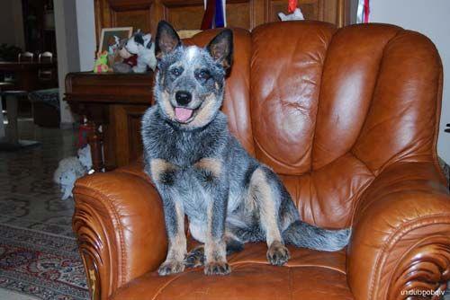 Австралійська пастуша собака на кріслі