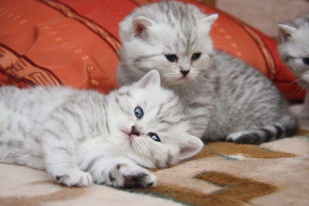Які щеплення роблять кошенятам