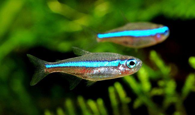 Неони сумісність з іншими рибами.